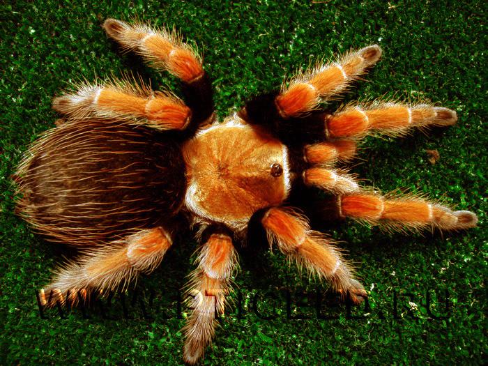 Продаются скорпионы и пауки птицееды на сервере рекламных объявлений.